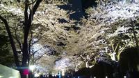 桜並木.jpg