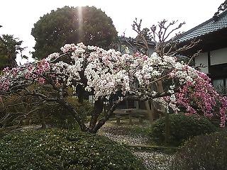 さくら寺.jpg