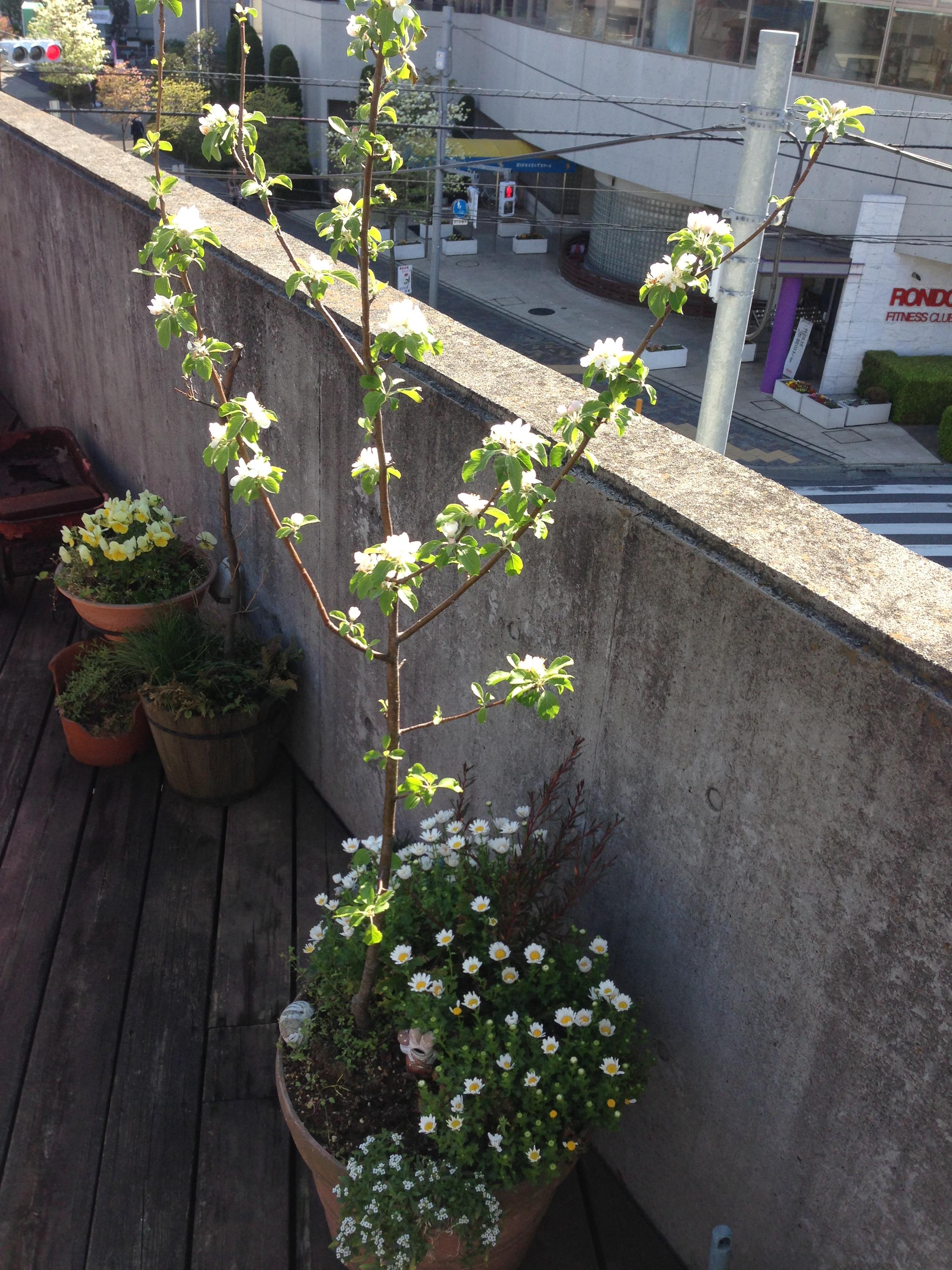 リンゴ木.JPG