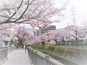 桜 DSC_0978.jpg