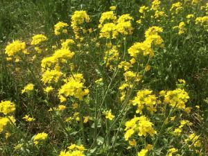 菜の花.JPGのサムネイル画像のサムネイル画像
