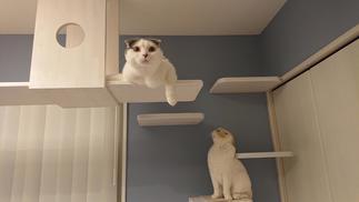 キャットウォークとキャットステップでくつろぐ猫ちゃん